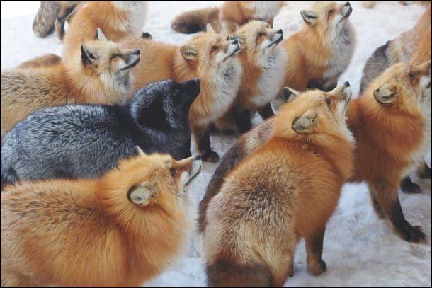 Combien d'espèces de renards existe-t-il ?