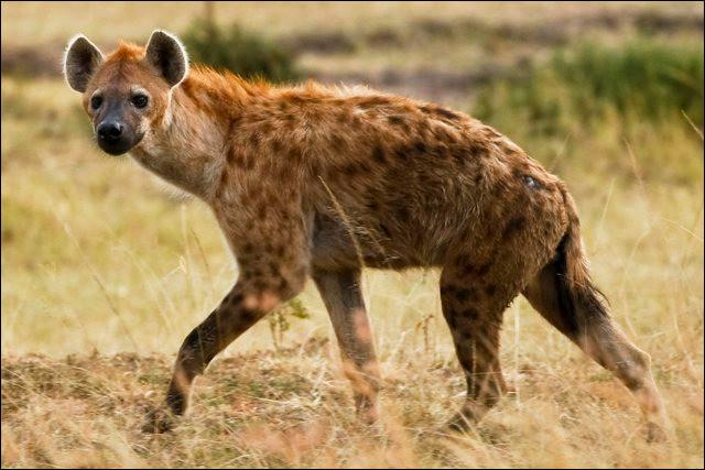 La hyène est-elle un canidé ?