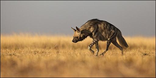 Quelle hyène est la plus grande ?