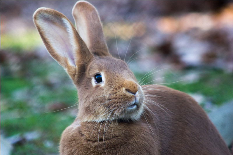 La queue du lapin est basse car :
