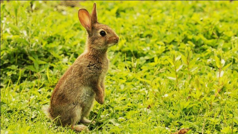 Un lapin qui attend des caresses se manifeste en :