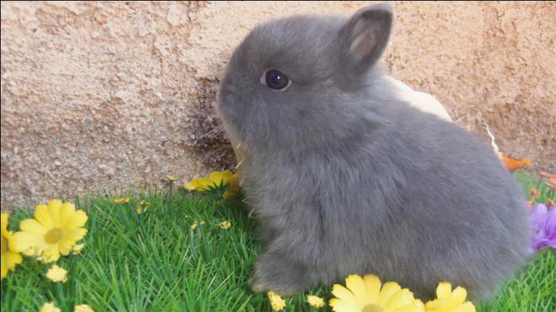 La queue du lapin sert de balancier quand :