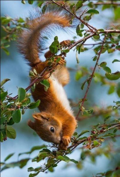 """""""Red squirrel"""", ça vous dit quelque chose ?"""