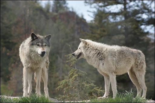 Quel parc animalier de Lozère regroupe une centaine de loups en semi-liberté ?