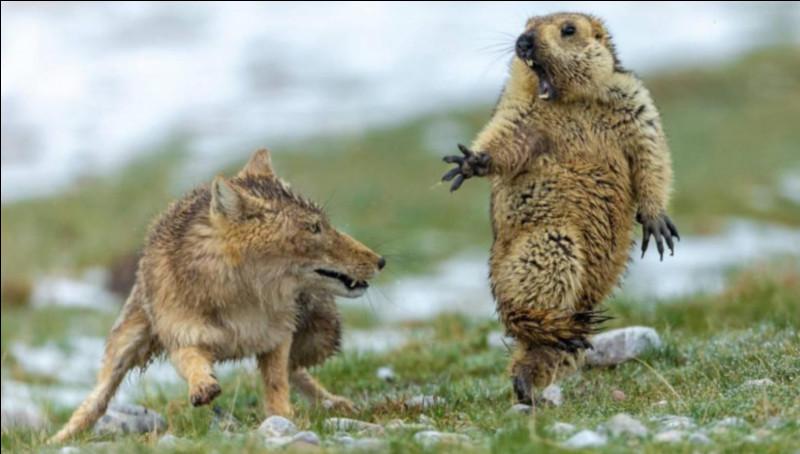 Comment s'appelle l'animal criant sûrement pitié face au renard ?