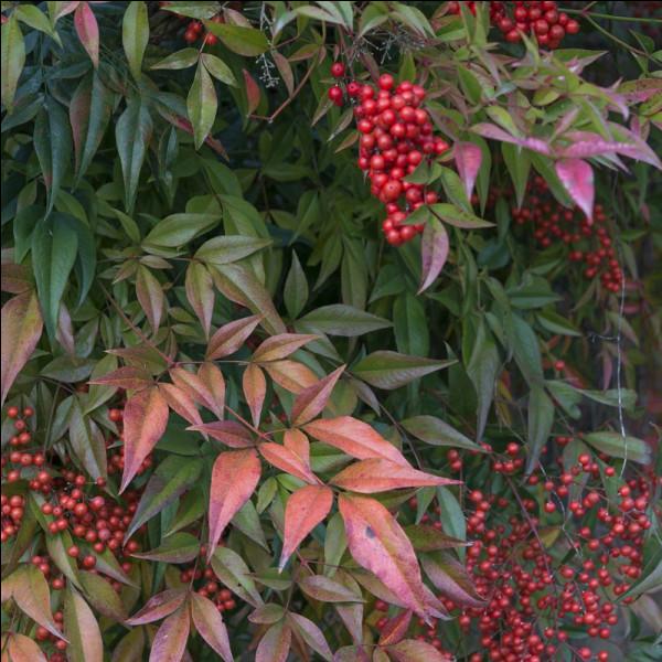 Quel est cet arbuste ?