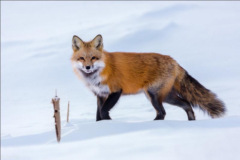 L'hiver le renard roux peut résister jusqu'à...