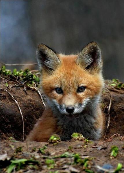 Le renard roux peut vivre environ jusqu'à...