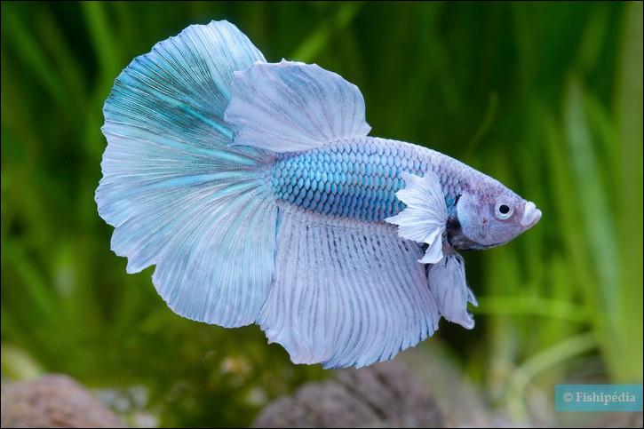 Le poisson combattant est originaire de :