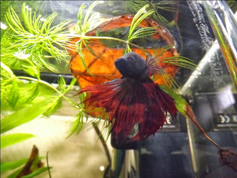 Quelle feuille est-il particulièrement bien de mettre dans son aquarium pour la santé de son poisson ?