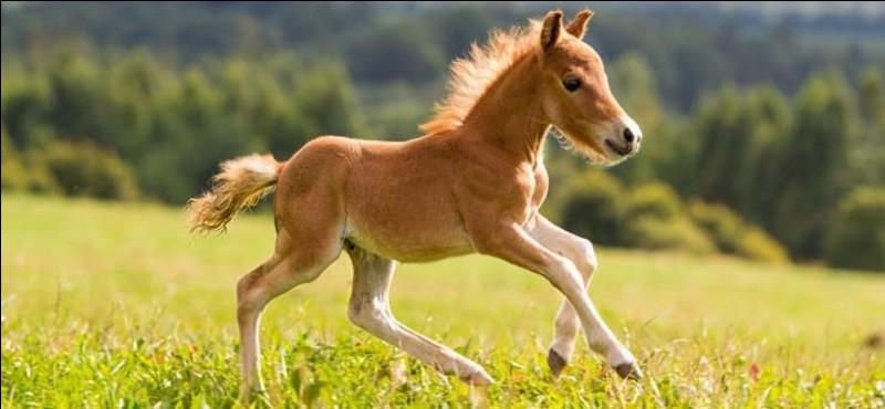 Comment s'appelle la petite femelle du cheval ?