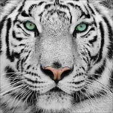 Le lion ou le tigre ?