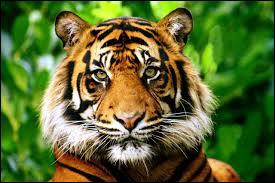 Le tigre est un mammifère :