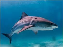 Le requin-tigre est-il dangereux pour l'homme ?