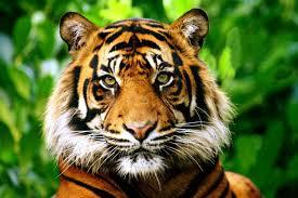 Culture générale avec le tigre