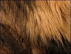 Quel animal a une telle crinière ?