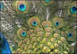 Quel animal possède ces drôles d'yeux sur le plumage ?