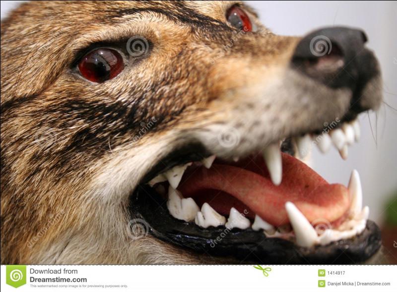Combien de dents a un loup adulte ?