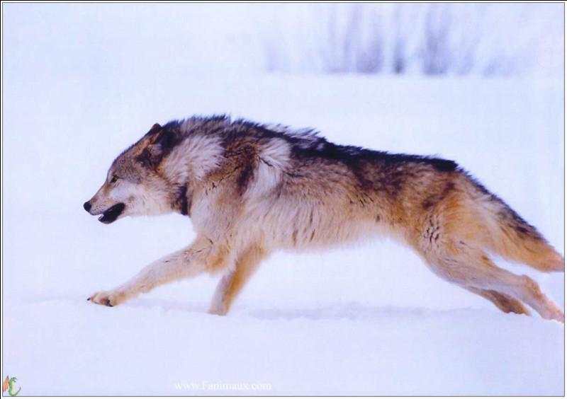 Les loups atteignent les …