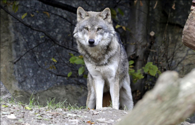 Le loup vit..