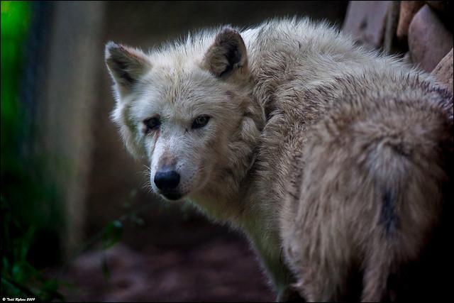Combien de temps un loup vit-il ?
