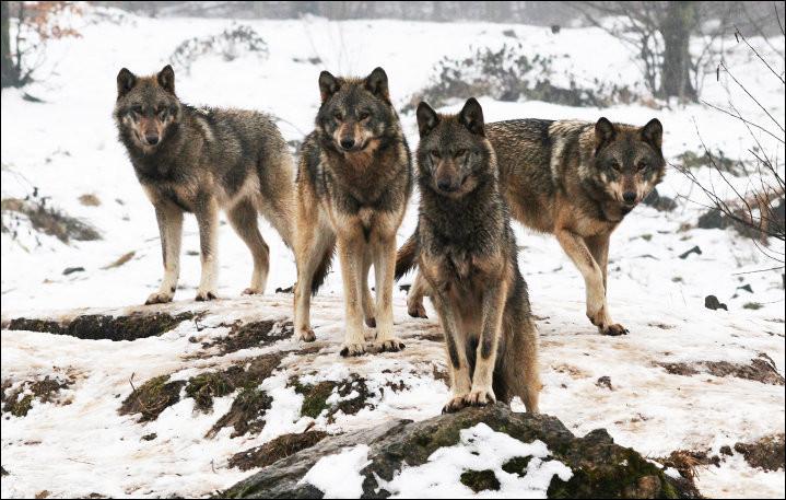 Les loups sont..