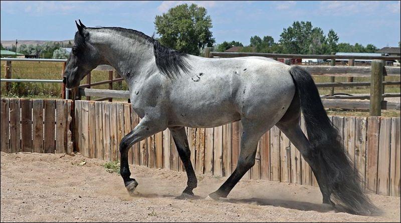 Ce cheval se déplace à l'allure nommée...