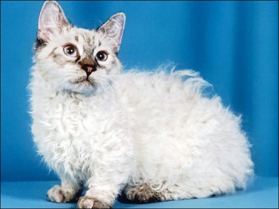 Skookum est le nom d'une race de petits chats aux pattes courtes qui doivent avoir ... grands et bouclés ?