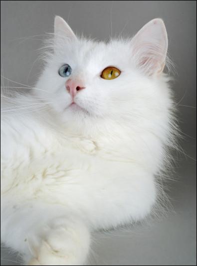 De quel pays est originaire la race de chat Van qui a souvent les yeux de couleurs différentes ?