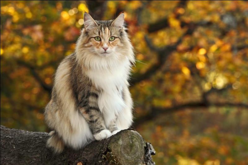 Adaptée pour vivre dans les climats froids, quelle est cette race de chat ?