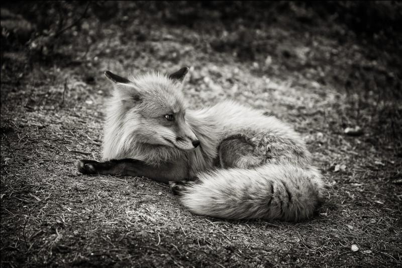 Le renard est un animal chassé.