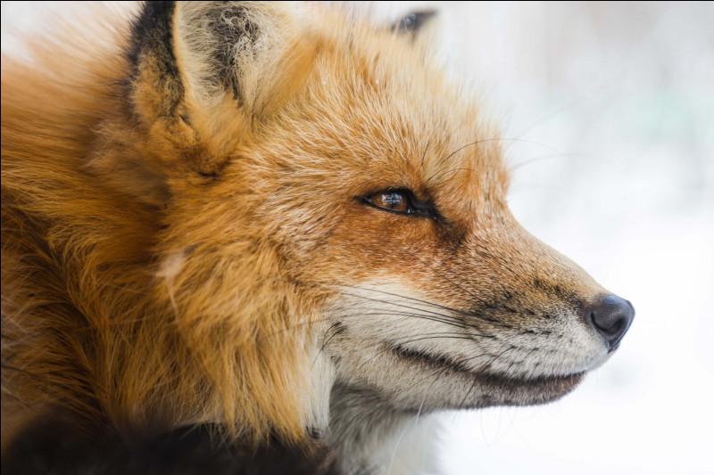Moins de 600 000 renards meurent chaque année en France.