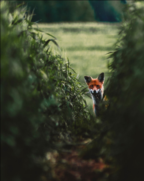 Quel est le nom principal de la technique de chasse la plus connue du renard ? (Ici, on parle bien de la façon de se nourrir du renard)