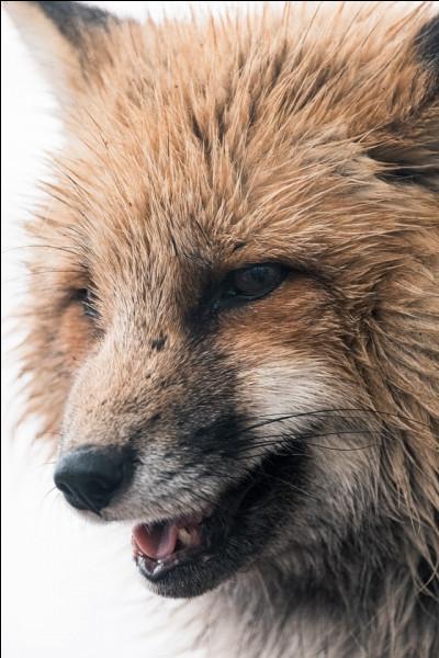 Les renards sont essentiellement...