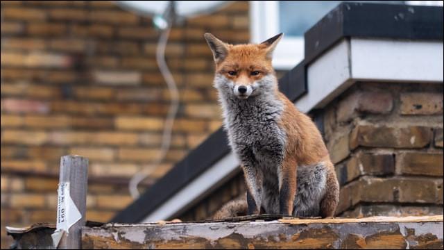 Combien de renards y a-t-il à Londres ?