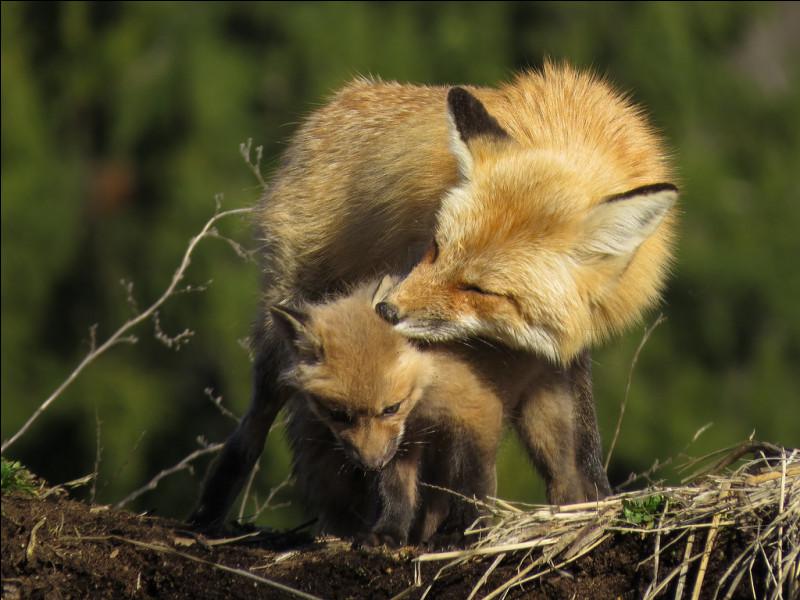 Le renard est un animal qui s'auto-régule.