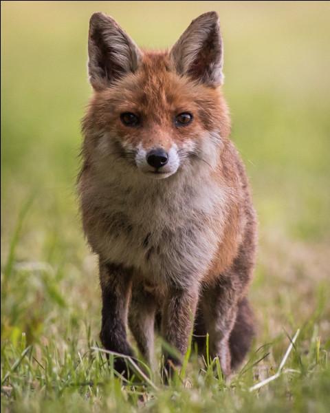 Le renard transmet la rage.