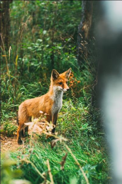 Le renard n'est pas le seul animal qui transmet l'échinococcose alvéolaire.