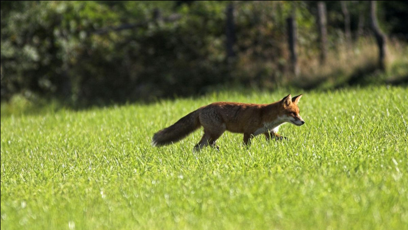 Le renard réduit le taux de maladie de Lyme.