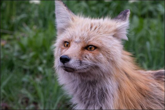 Quel statut occupe le renard actuellement en France ?