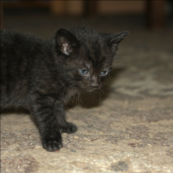 Il parait que quand on croise un chat noir dans la rue le soir, ça porte malheur.