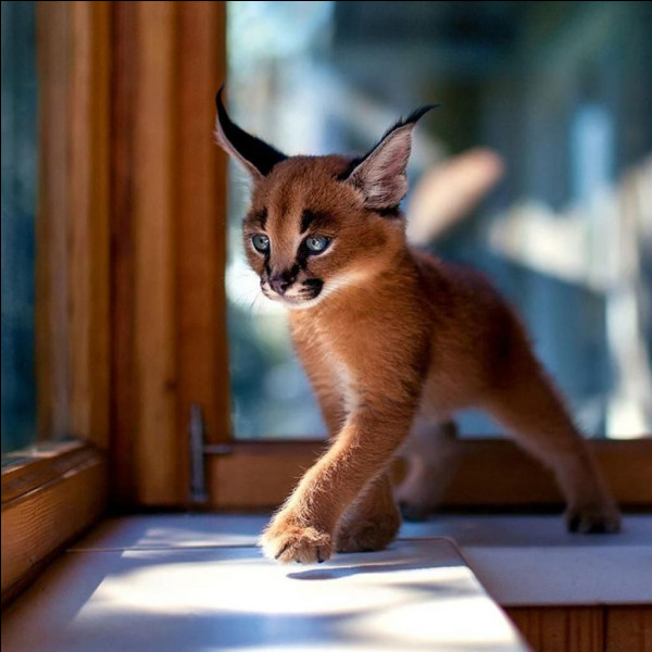 Cette race de chat existe.