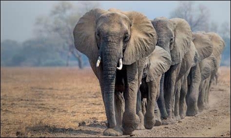 D'où viennent les éléphants ?