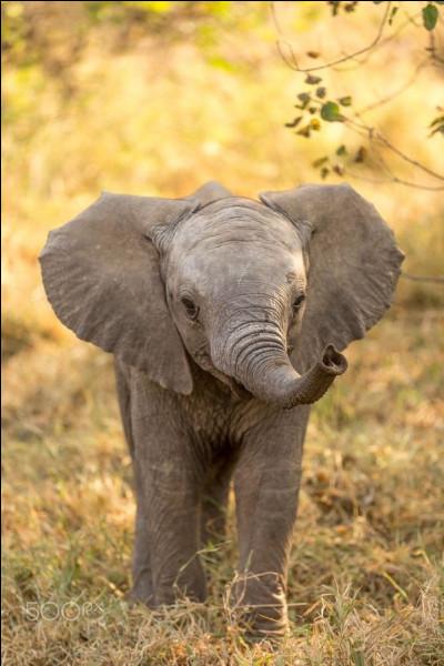 Quel est l'éléphant le plus grand ?