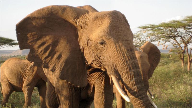 Quel est le point commun de tous les éléphants ?