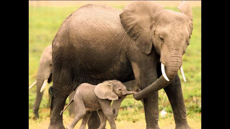 Comment appelle-t-on une famille d'éléphants ?