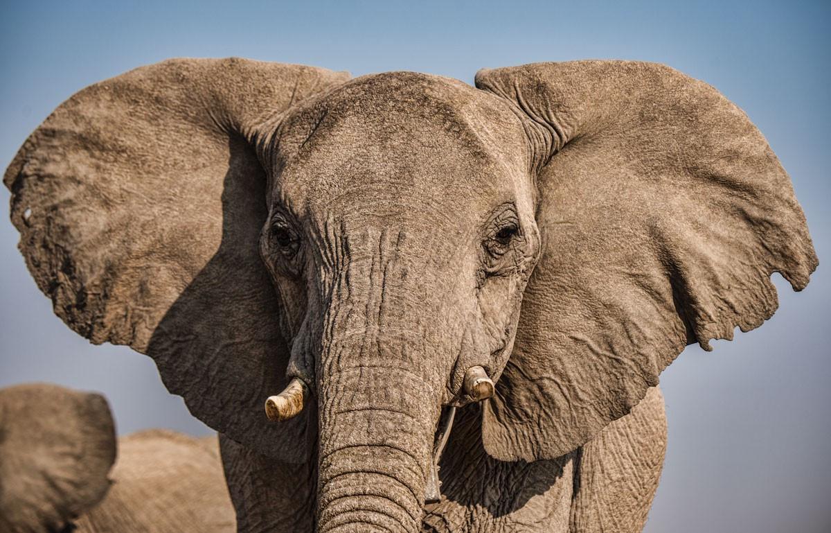Les éléphants... ça trompe