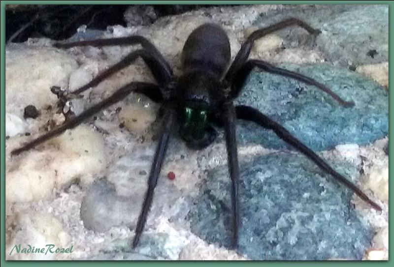 Ils mangent aussi des araignées...