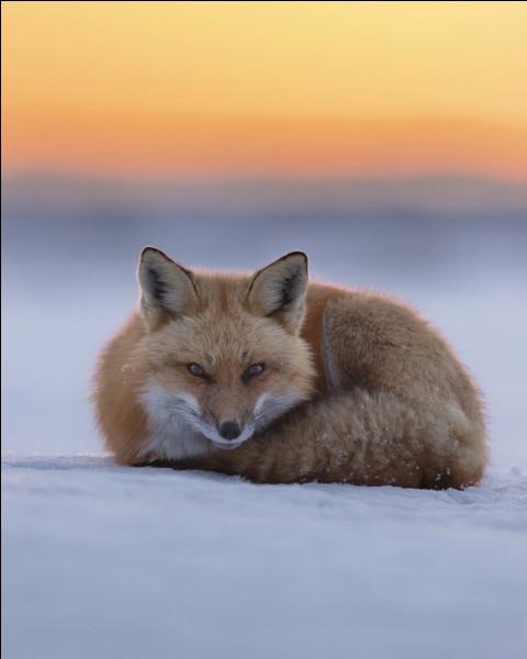 De quelle maladie les renards sont-ils vecteurs ?
