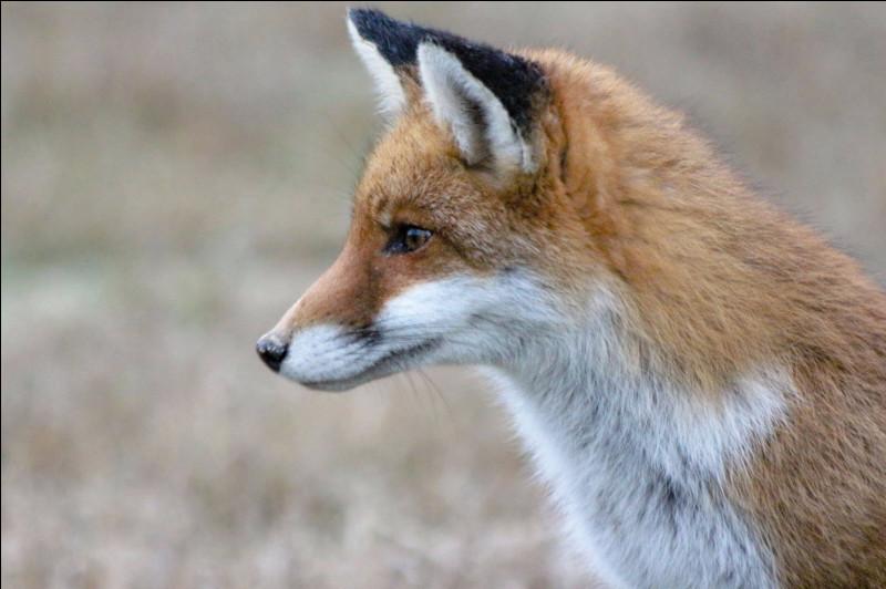 Depuis quelle année les renards ne transmettent-ils plus la rage ?